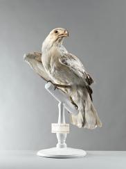 Circaete Jean-le-Blanc (Circaetus gallicus)
